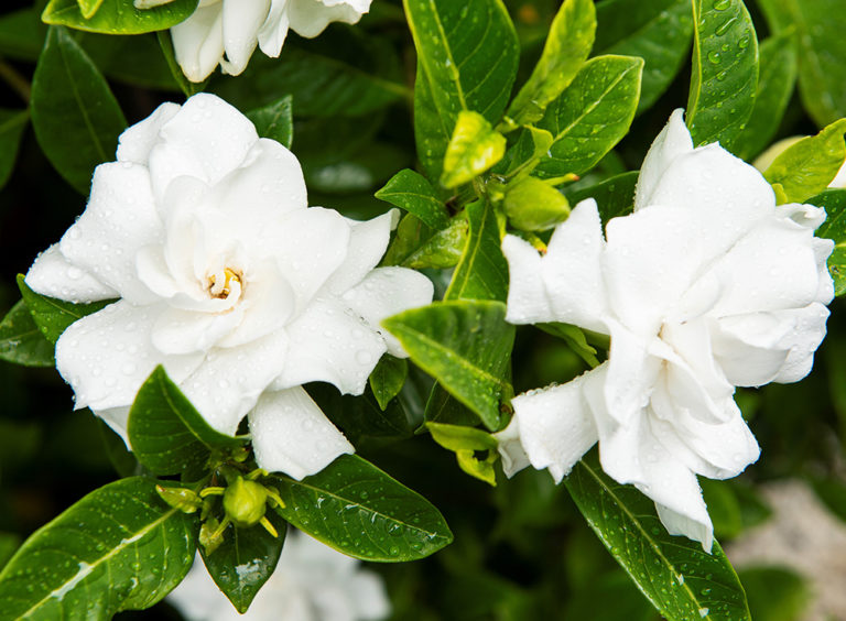 Tropical fragrant flowers used in landscape garden design